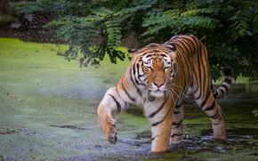 Картинка тигр, поза, лапа, купание, водоем