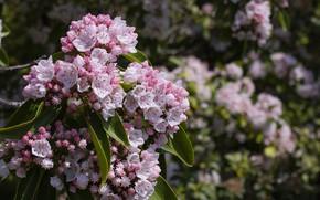 Картинка ветка, весна, цветение, кальмия