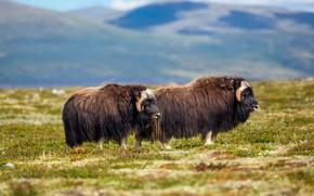 Картинка поле, горы, природа, пара, два, быки, бык, овцебык, два быка, овцебыки