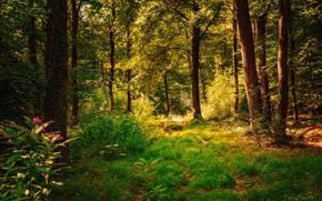 Картинка лес, лето, трава, деревья