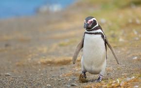 Картинка берег, пингвин, прогулка