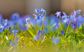 Картинка цветы, поляна, голубые
