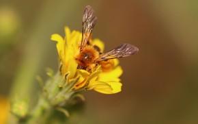Картинка цветок, пчела, фон, крылья