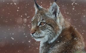 Картинка портрет, снег, морда, Олег Богданов, рысь, дикая кошка