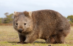 Картинка Австралия, зверёк, млекопитающие, хордовые, сумчатые, пухлик, Вомбат, двурезцовые, вомбатовые