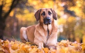 Картинка осень, взгляд, морда, листья, природа, листва, собака, овчарка
