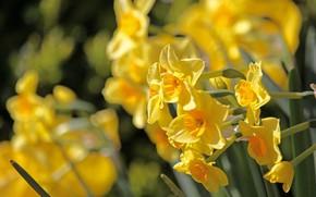 Картинка жёлтый, весна, нарциссы, весенние цветы, osterglocken