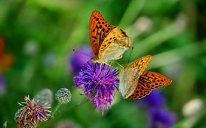 Картинка зелень, цветок, лето, макро, бабочки, цветы, насекомые, фон, сиреневый, две, пара, рыжие, парочка, дуэт, боке, …