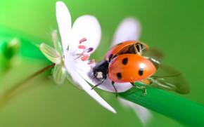 Картинка цветок, божья коровка, жук, зеленый фон