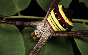 Картинка паук, насекомое, полосатый