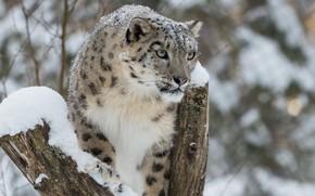 Картинка кот, морда, снег, дерево, снежный барс, ибрис