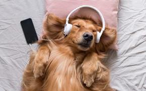 Картинка радость, музыка, собака, наушники, подушка, телефон