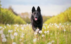 Картинка собака, луг, одуванчики, овчарка