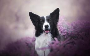 Картинка язык, взгляд, морда, цветы, фон, сиреневый, поляна, черно-белая, портрет, собака, пес, черная, пёс, размытый, бордер-колли, …