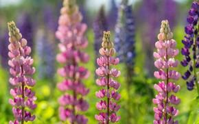 Картинка лето, цветы, фон, фиолетовые, розовые, синие, много, боке, размытый фон, люпины