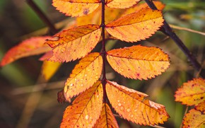 Картинка осень, листья, макро, жёлтый, капли воды