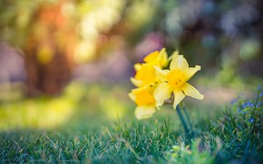 Картинка трава, природа, жёлтые, нарциссы, боке