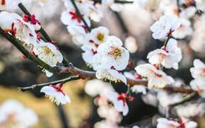 Картинка цветы, весна, Вишня, цветение
