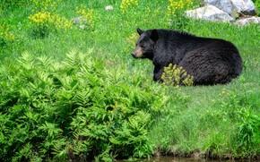 Картинка зелень, лето, трава, поза, камни, отдых, берег, черный, медведь, мишка, лежит, цветочки, папоротник, кусты, зоопарк, …