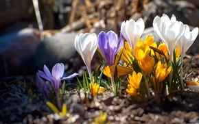 Картинка свет, цветы, яркие, весна, крокусы, бутоны, полянка, разноцветные