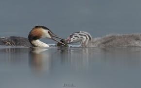 Картинка птицы, озеро, пара, DUELL ©