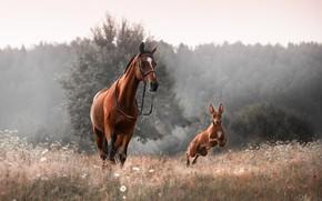 Картинка животные, трава, природа, туман, конь, собака, утро, пёс