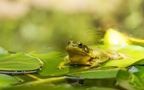 Картинка Лягушка, Озеро, Пруд