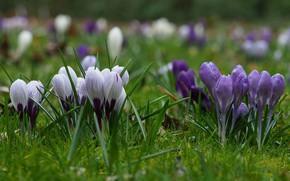 Картинка цветы, весна, крокусы, цветение