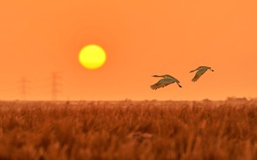 Картинка поле, небо, солнце, полет, закат, птицы, две, пара, журавли