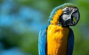 Картинка фон, птица, клюв, попугай, Сине-жёлтый ара