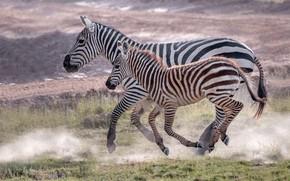 Картинка полоски, малыш, бег, зебра