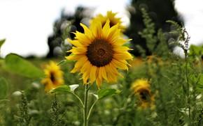 Картинка поле, цветок, лето, желтый, один, подсолнух, боке
