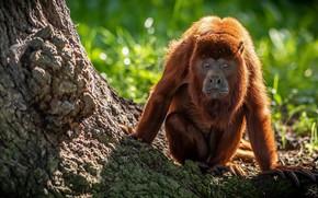 Картинка природа, Yorkshire Wildlife Park, Howler Monkey