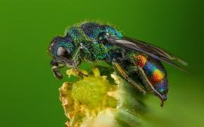 Картинка макро, зеленый, фон, растение, оса, насекомое, блестящая, блестянка
