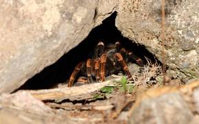 Картинка spider, legs, cave, hairs