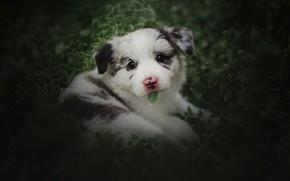 Картинка зелень, белый, лето, взгляд, листья, собака, малыш, щенок, лежит, листочек, мордашка, боке, пятнистый, аусси