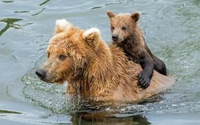 Картинка вода, медведи, купание, медвежонок, медведица, Гризли