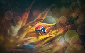 Картинка цветок, природа, дождь, божья коровка, боке, by GJ-Vernon