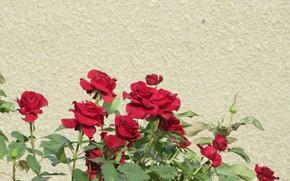 Картинка стена, розы, красные розы, Mamala ©, лето 2018