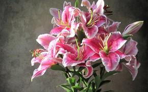 Картинка цветы, фон, лилии, красота, розовые лилии