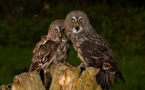 Картинка взгляд, птицы, темный фон, сова, две, пень, пара, совы, дуэт, неясыть, две птицы