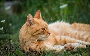 Картинка кошка, лето, трава, кот, взгляд, морда, природа, поза, отдых, поляна, лапы, рыжий, лежит, клевер, полосатый, …