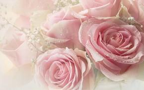 Картинка капли, розовый, розы
