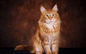 Картинка кошка, кот, взгляд, поза, темный фон, рыжий, мордочка, мех, сидит, мейн-кун, фотостудия