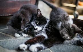 Картинка кошка, взгляд, поза, лежит, дети, котята, два котенка, мама, дом, черная с белым, помещение