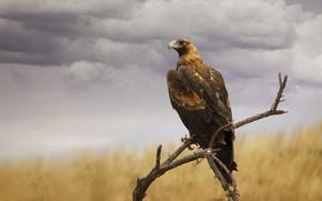 Картинка небо, птица, орел, ветка
