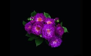 Картинка розы, минимализм, букет, фиолетовые, чёрный фон