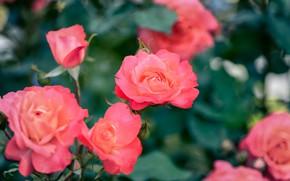 Картинка листья, розы, размытие, сад, красные, розовые, бутоны, боке, розовый куст, лососевые