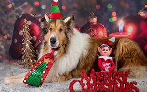 Картинка собаки, взгляд, морда, поза, собака, Рождество, Новый год, фотосессия, колли, фотомодель, аксессуары