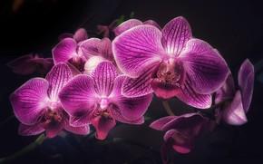 Картинка цветы, фон, черный, орхидея